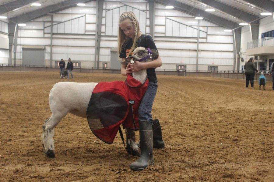 4H member Brieley Scott practices bracing her sheep before show day.