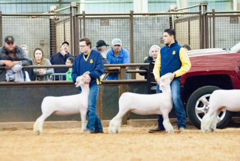 Luke Foster shows his sheep at the county fair. Unlike many students, Foster shows only one species.